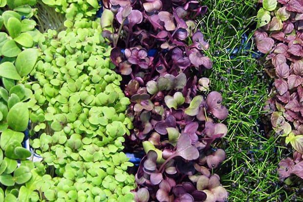 Овощи для выращивания в теплице (на балконе) зимой