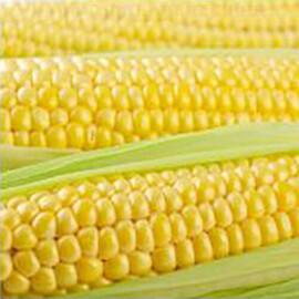 Семена кукурузы сахарной Тусон F1 Syngenta от 5 г, Фасовка: Мини упаковка 5 г