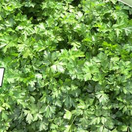 Семена петрушки листовой Гиганте де Италия Аgri Saaten от 100 г, Фасовка: Проф упаковка 100 г