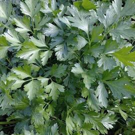 Семена петрушки листовой Господыня Nasko от 25 г, Фасовка: Проф упаковка 25 г