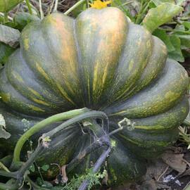 Семена тыквы Вест Lark Seeds 500 г, Фасовка: Проф упаковка 500 г