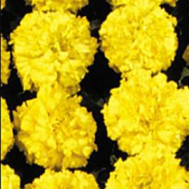 Насіння чорнобривців Чикаго Yellow Kitano Seeds 500 шт, Фасовка: Проф упаковка 500 шт