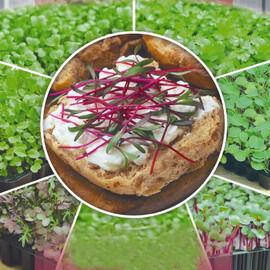 Семена микрозелени свеклы  Seedera 10 г