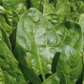 Семена шпината Клиппер F1 Sakata 50 000 шт, Фасовка: Проф упаковка 50 000 шт