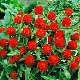 Семена гомфрены высокой Кис красная 1 000 шт  Pan Аmerican