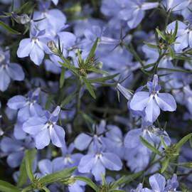 Семена лобелии кустовой Ривьера голубая 200 шт мультидраже Pan Аmerican