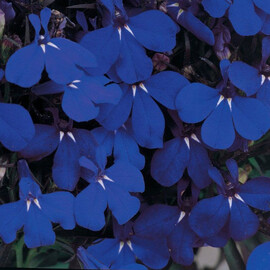 Семена лобелии кустовой Ривьера марина блу 200 шт мультидраже Pan Аmerican