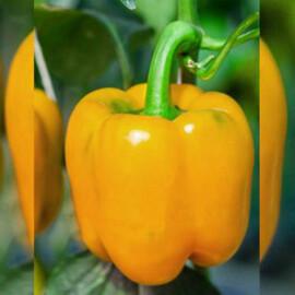 Семена перца Шорок шари Hortus от 10 г, Фасовка: Проф упаковка 10 г