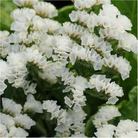 Семена статицы выемчатой Кис белая 1 000 шт Pan Аmerican