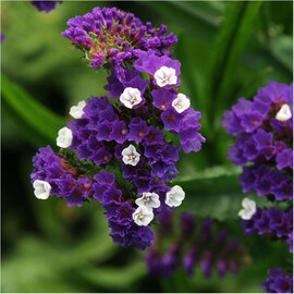 Семена статицы выемчатой Кис пурпурная 1 000 шт Pan Аmerican