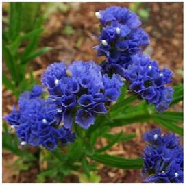 Семена статицы выемчатой Кис темно-синяя 1 000 шт Pan Аmerican