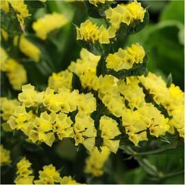 Семена статицы выемчатой Кис желтая 1 000 шт Pan Аmerican