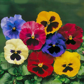 Насіння віоли вітрока Дельта F1 суміш з вічком 100 шт Syngenta Flowers