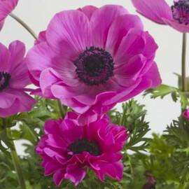 Семена анемоны Гармония F1 розовая 50 шт Sakata