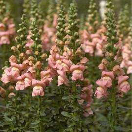 Семена антирринума на срез Опус F1 пинк 100 шт Syngenta Flowers