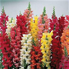 Семена антирринума на срез Опус F1 смесь 100 шт Syngenta Flowers