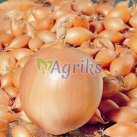 Лук севок (озимый) Коррадо F1 10 кг (8-21мм) Triumfus Onion Products