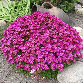 Семена арабиса Литтл Треже темно-розовый 100 шт Syngenta Flowers