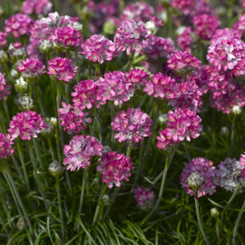 Семена армерии Армада розовая 100 шт Syngenta Flowers