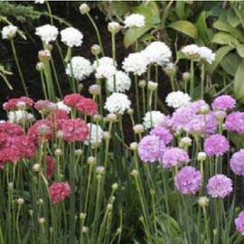 Семена армерии Армада смесь 100 шт Syngenta Flowers