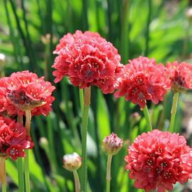 Семена армерии Балерина красная 100 шт Pan Аmerican