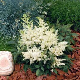 Семена астильбы Астари белая 50 шт Benary