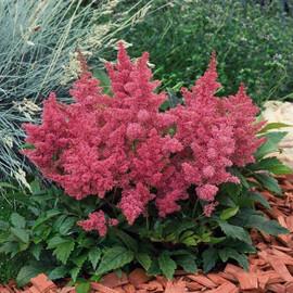 Семена астильбы Астари розовая 50 шт Benary