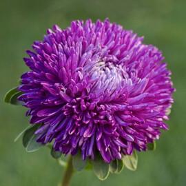 Семена астры на срез Балун пурпурная 1 г Satimex