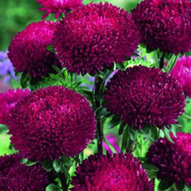 Семена астры на срез Балун рубиновая 1 г Satimex