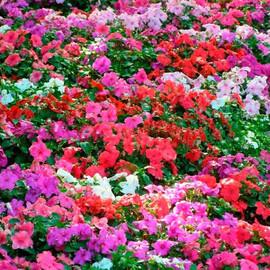 Насіння бальзаміну Імара F1 суміш 100 шт Syngenta Flowers