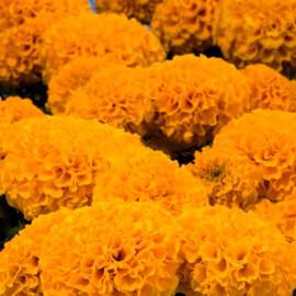 Семена бархатцев прямостоящих Дискавери F1 оранжевые 100 шт Benary, Фасовка: Проф упаковка 100 шт