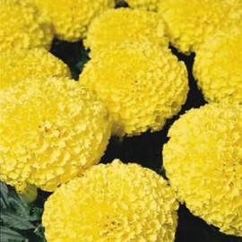 Семена бархатцев прямостоящих Дискавери F1 желтые 100 шт Benary, Фасовка: Проф упаковка 100 шт