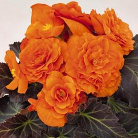 Семена бегонии Лимитлесс F1 оранжевая 100 шт Syngenta Flowers
