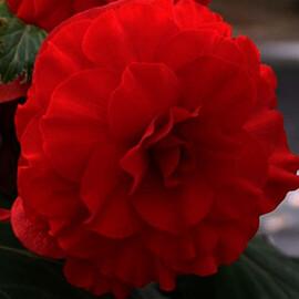 Семена бегонии Лимитлесс F1 темно-красная 100 шт драже Syngenta Flowers