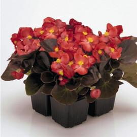 Семена бегонии вечноцветущей Найтлайф F1 красная 1 000 шт Syngenta Flowers