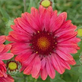Семена гайлардии Аризона красная с прожилками 100 шт Benary