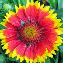 Семена гайлардии Аризона красно-желтая 100 шт Benary