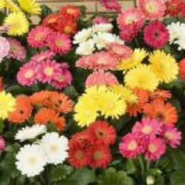 Семена герберы Джеймсона Картвель F1 100 шт Syngenta Flowers