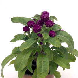 Семена гомфрены Будди пурпурная 200 шт Benary