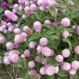 Семена гомфрены Будди розовая 200 шт Benary