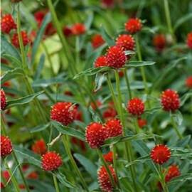 Семена гомфрены на срез красная 5 гр Hem Zaden