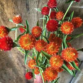 Семена гомфрены высокой Кис оранжевая 1 000 шт  Pan Аmerican