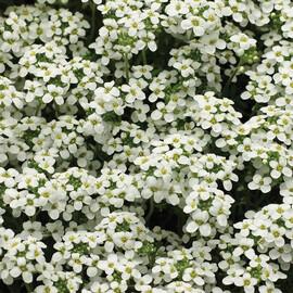 Семена гутчинзии Айскьюб 100 шт Syngenta Flowers