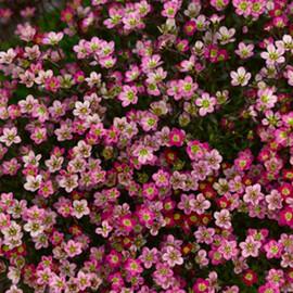 Семена камнеломки Хайлендер красная 200 шт Syngenta Flowers
