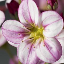 Семена камнеломки Хайлендер розовая с прожилками 200 шт Syngenta Flowers