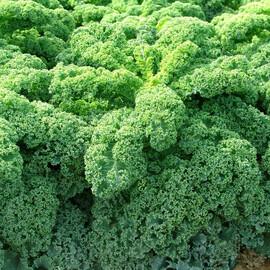 Семена капусты листовой Кадет Moravoseed 50 гр