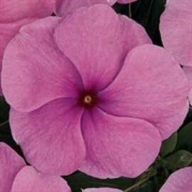 Семена катарантуса кустового Кора XDR F1 орхид 100 шт Syngenta Flowers