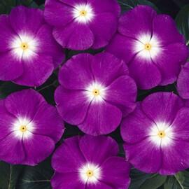 Семена катарантуса кустового СанШторм F1 фиолетовая с глазком 100 шт Syngenta Flowers