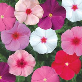 Семена катарантуса кустового СанШторм F1 смесь 100 шт Syngenta Flowers