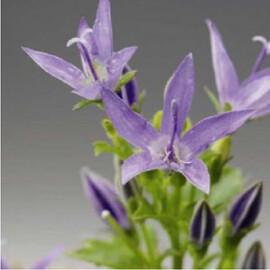 Семена колокольчика Филигри 200 шт Syngenta Flowers